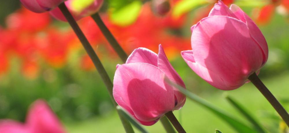 Tulpaner, grönt, gräs, blommor